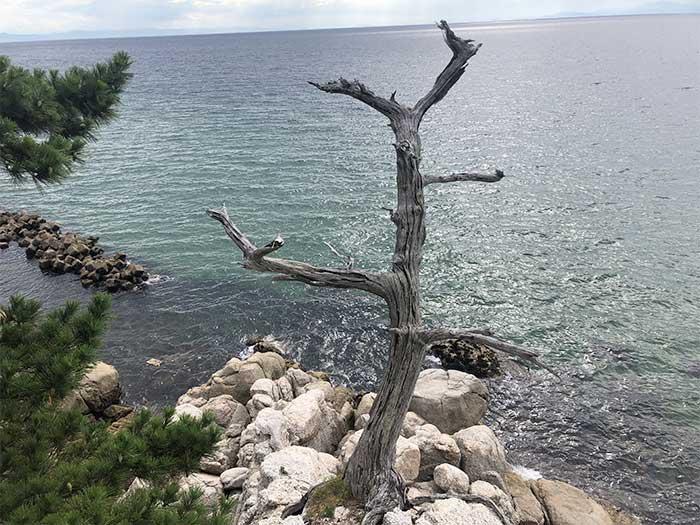 明神岬の木