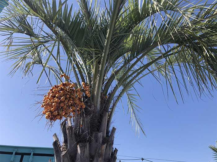 椰子の木に似た木