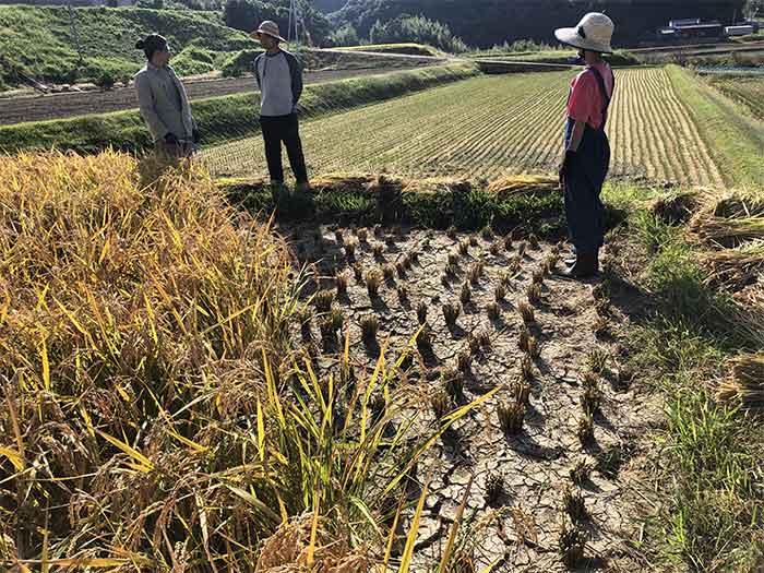 田んぼの角の稲刈り