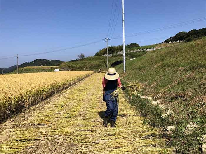 稲を拾う奥さん