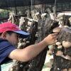 原木椎茸狩り体験